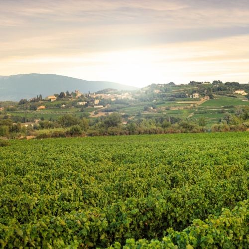 Vineyard of Provence in the south of France