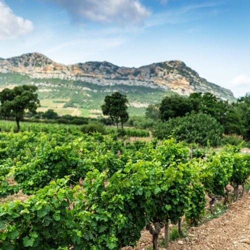 A vineyard in the wine-growing region of northern Corsica
