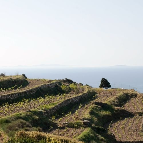 A vineyard in the Ionian Islands in Greece with a panoramic view of the sea