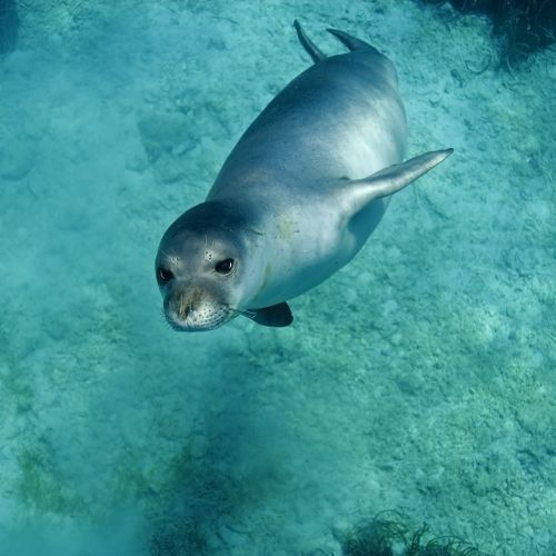 A monk seal in Mediterranean waters