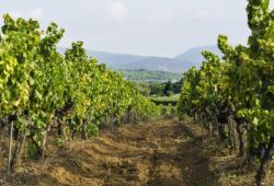 A path in the middle of the vineyards of Provence