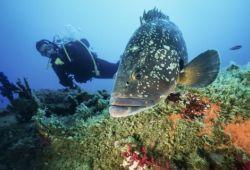 Scuba diving with a grouper in the Lavezzi islands in Corsica