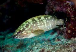 Grouper in the Mediterranean Sea